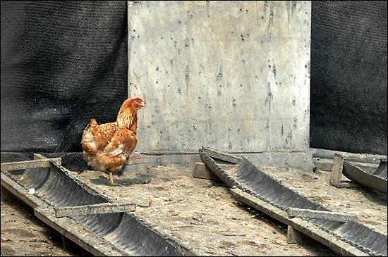 살아남은 저 닭 한 마리를 보며